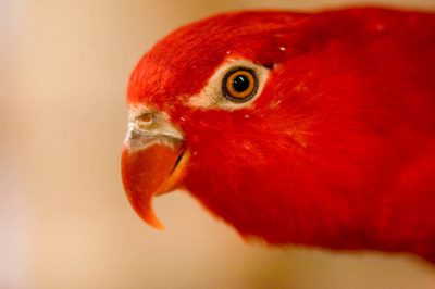 Photo: A chattering lory (Lorius garrulus) at the Kansas City Zoo, Kansas City, Missouri.