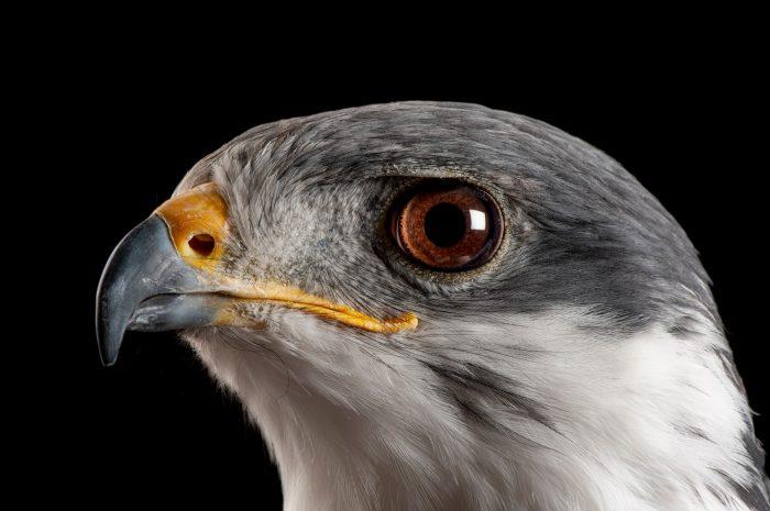 Photo: An auger buzzard (Buteo auger) at the Denver zoo, Denver, Colorado.