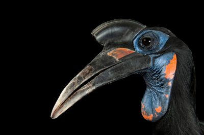 Picture of an Abyssinian ground hornbill (Bucorvus abyssinicus) at the Denver zoo, Denver, Colorado.
