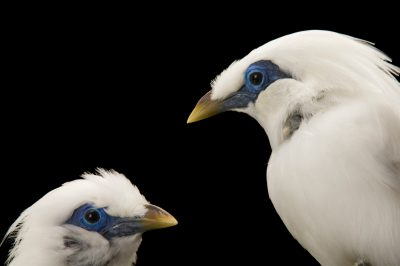 A pair of critically endangered (IUCN) and federally endangered Bali mynah (Leucopsar rothschildi) at the Cheyenne Mountain Zoo, Colorado Springs, Colorado.