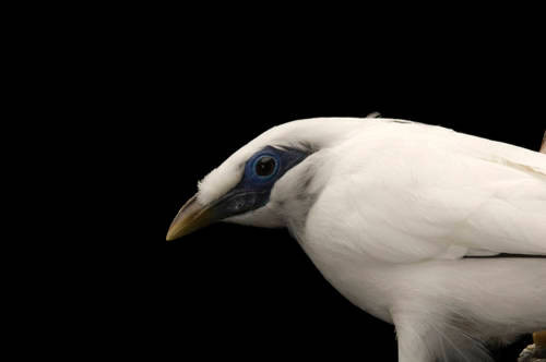 A critically endangered (IUCN) and federally endangered Bali mynah (Leucopsar rothschildi) at the Cheyenne Mountain Zoo, Colorado Springs, Colorado.