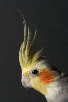 A cockatiel (Nymphicus hollandicus) at the Riverside Zoo, Scottsbluff, Nebraska.