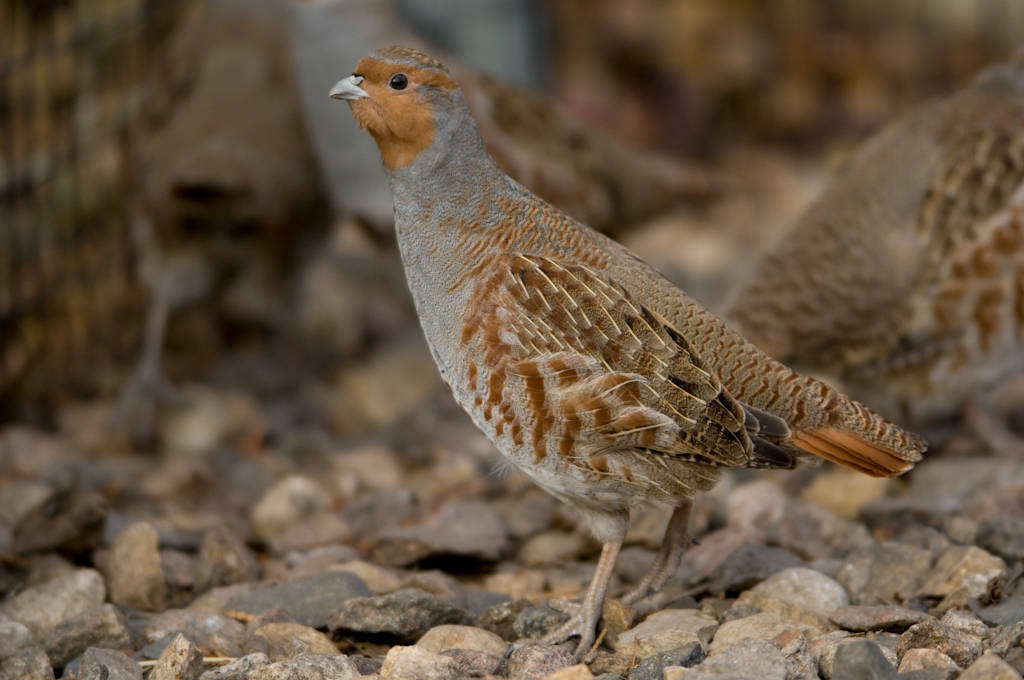 Photo: Hungarian partridges (Perdix perdix) at the Bramble Park Zoo, Watertown, South Dakota.