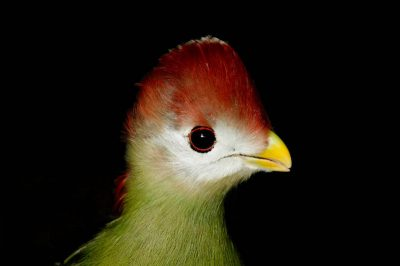 Picture of a red-crested turaco (Tauraco erythrolophus) at the Bramble Park Zoo, Watertown, South Dakota.