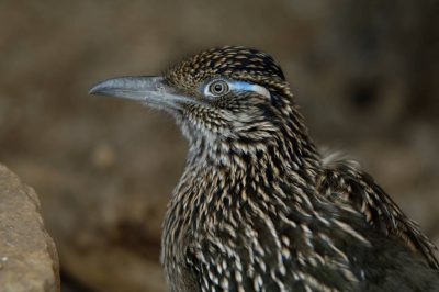 A greater roadrunner (Geococcyx californianus) at the Omaha Zoo.
