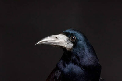 Photo: A European rook (Corvus frugilegus) at the Reptile Gardens, Rapid City, South Dakota.