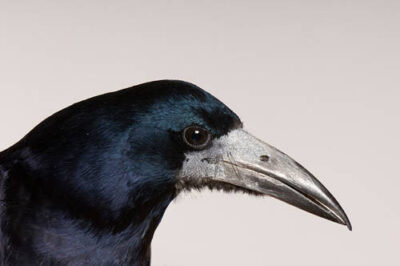 Photo: A European rook (Corvus frugilegus) at the Reptile Gardens, Rapid City, South Dakota.