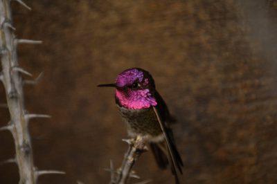 Photo: An Anna's hummingbird (Calypte anna) at the Omaha Zoo, Omaha, Nebraska.