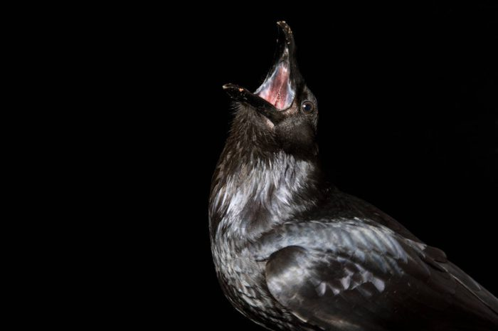 An American crow (Corvus brachyrhynchos) at the Sutton Avian Research Center, Bartlesville, Oklahoma.