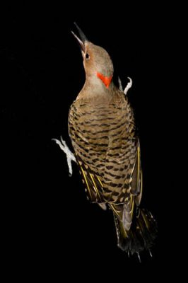 A northern flicker (Colaptes auratus auratus) at the Sutton Avian Research Center, Bartlesville, Oklahoma.