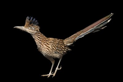 A greater roadrunner (Geococcyx californianus) at the Sutton Avian Research Center, Bartlesville, Oklahoma.