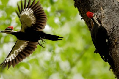 Picture of pileated woodpeckers (Dryocopus pileatus) at a nest cavity near St. Charles, Arkansas.