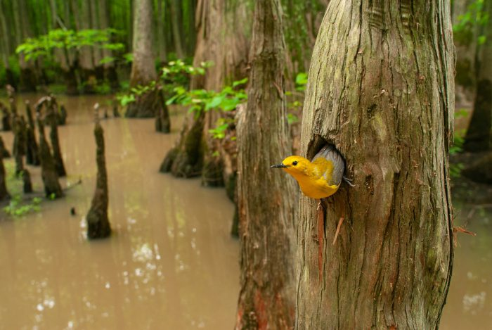 Picture of a prothonotary warbler (Protonotaria citrea) tending to its nest in a Cypress tree in the Cache River National Wildlife Refugee, Arkansas.
