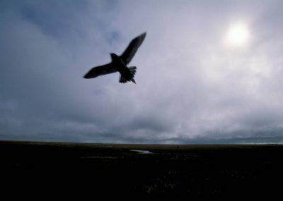 Photo: A parasitic jaeger silhouetted against a gray sky on Alaska's North Slope.