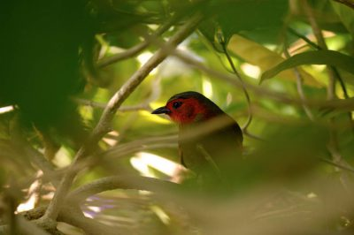 Photo: Red-faced liocichla, (Liocichla phoenicea), in the Aviary of the North Carolina Zoo.