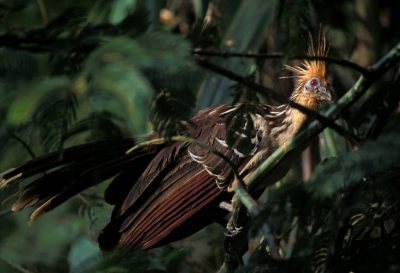 Photo: A hoatzin (Opisthocomidae Opisthocomus) near a swamp in Madidi National Park, Bolivia.