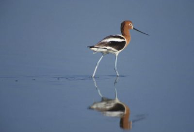 Photo: An American avocet at Merced NWR in California's central valley.