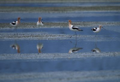 American avocets (Recurvirostra americana) at Merced National Wildlife Refuge, California.