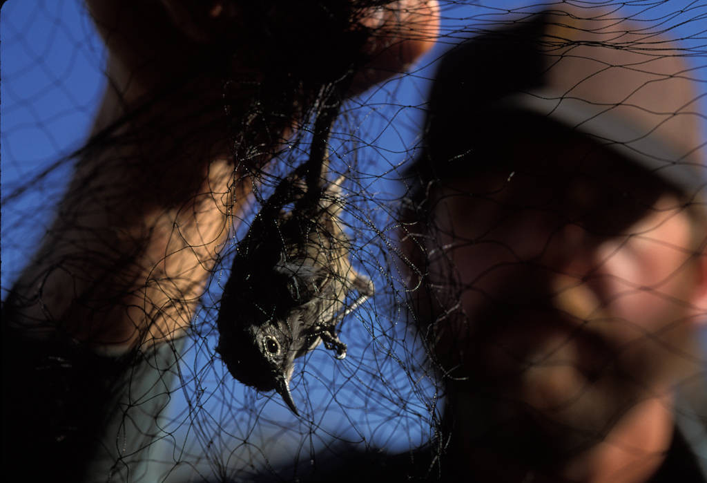 Photo: A man holds up a bird caught in a wire fence at Ash Meadows National Wildlife Refuge.