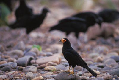 Photo: Birds scavenge in Madidi National Park, Bolivia.