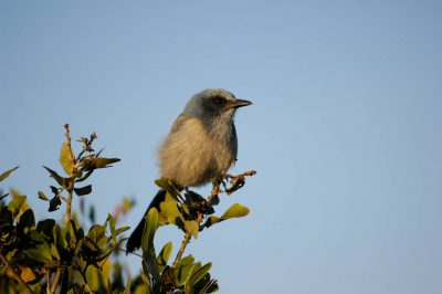 Photo: A Blue bird (Sialia) perched in a tree at the Archbold Biological Station, Venus, Florida.
