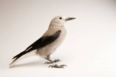 A Clark's nutcracker (Nucifraga columbiana) at the School of Biological Sciences at the University of Nebraska-Lincoln. This and other corvid species are studied to learn how cognition evolved, how animals use cognitive abilities to solve problems in nature and how cognitive abilities can affect the evolutionary process.