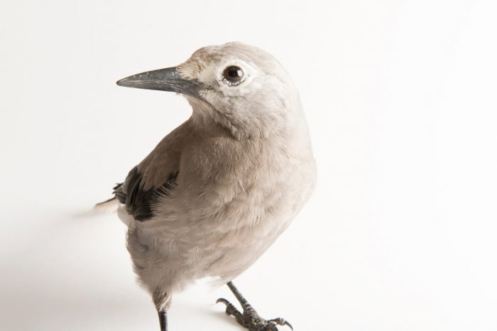 A Clark's nutcracker (Nucifraga columbiana) at the School of Biological Sciences at the University of Nebraska-Lincoln. This and other corvid species are studied to learn how cognition evolved, how animals use cognitive abilities to solve problems in nature and how cognitive abilities can affect the evolutionary process