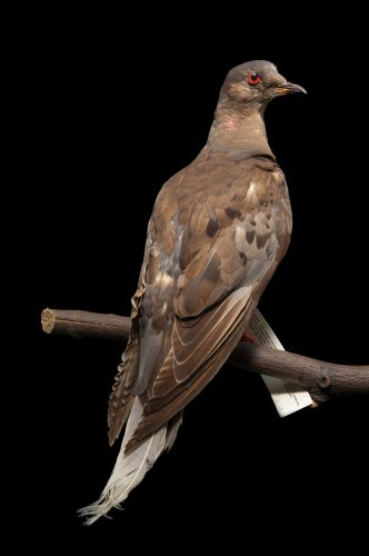 Photo: A taxidermy mount of Martha, the last passenger pigeon (Ectopistes migratorius). She died in 1913 at the Cincinnati Zoo, and with that, her species became extinct.