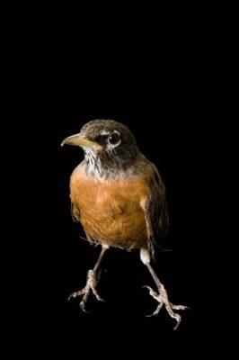 An American robin (Turdus migratorius propinquus) at The Wildlife Center in Espanola, New Mexico.