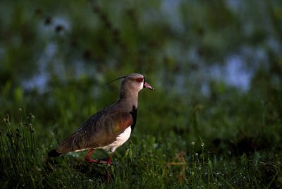 Picture of a Southern lapwing (Vanellus chilensis) in Brazil's Pantanal region.