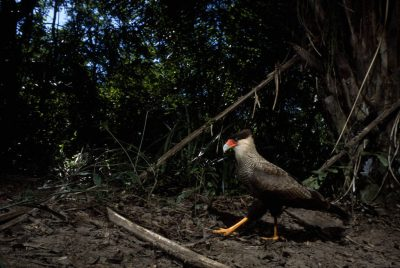 A Southern crested caracara (Caracara plancus) takes its own photo breaking an infra-red trigger beam in Brazil's Pantanal region.