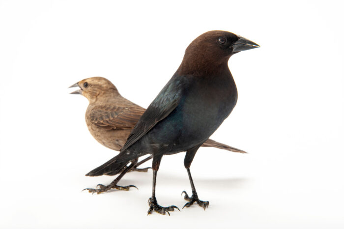 A male (front) and female brown-headed cowbird (Molothrus ater) at the San Antonio Zoo.