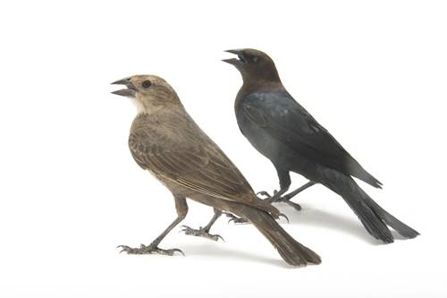 A female (left) and male brown-headed cowbird (Molothrus ater) at the San Antonio Zoo.