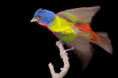 Photo: A male painted bunting (Passerina cris) captured at the Brown Ranch, Texas.