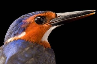 Photo: A kingfisher from Bioko Island, Equatorial Guinea.