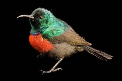A northern double-collared sunbird (Cinnyris reichenowi preussi) in Bioko Island Equatorial Guinea.
