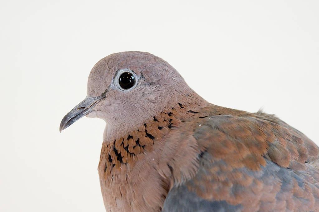 A Senegal dove (Streptopelia senegalensis) at the Lincoln Children's Zoo, Lincoln, Nebraska.