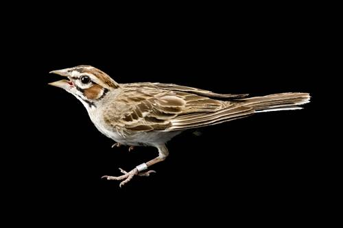 A lark sparrow (Chondestes grammacus) at the Brown Ranch, Texas.