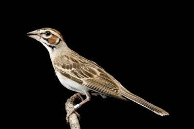 A lark sparrow (Chondestes grammacus) at the Brown Ranch, Texas.