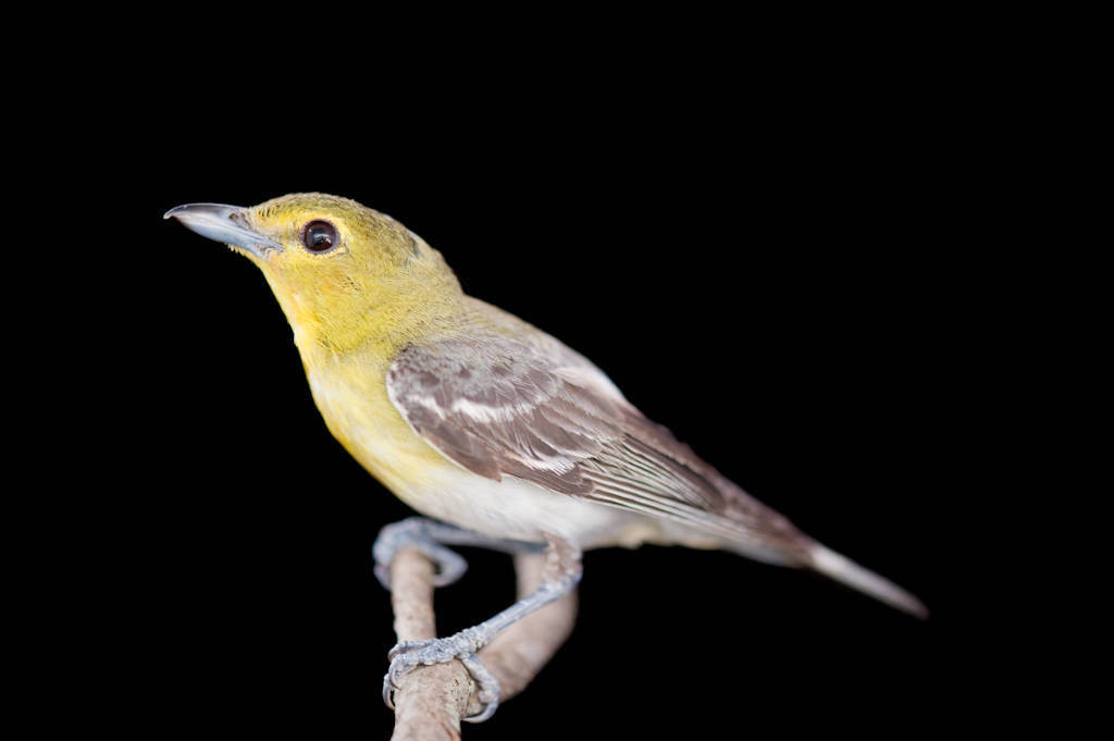 A female yellow-throated vireo (Vireo flavifrons) at the Brown Ranch, Texas.