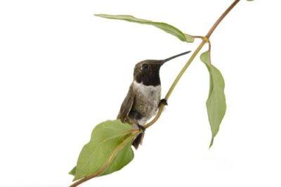 A black-chinned hummingbird (Archilochus alexandri) at the Brown Ranch, Texas.