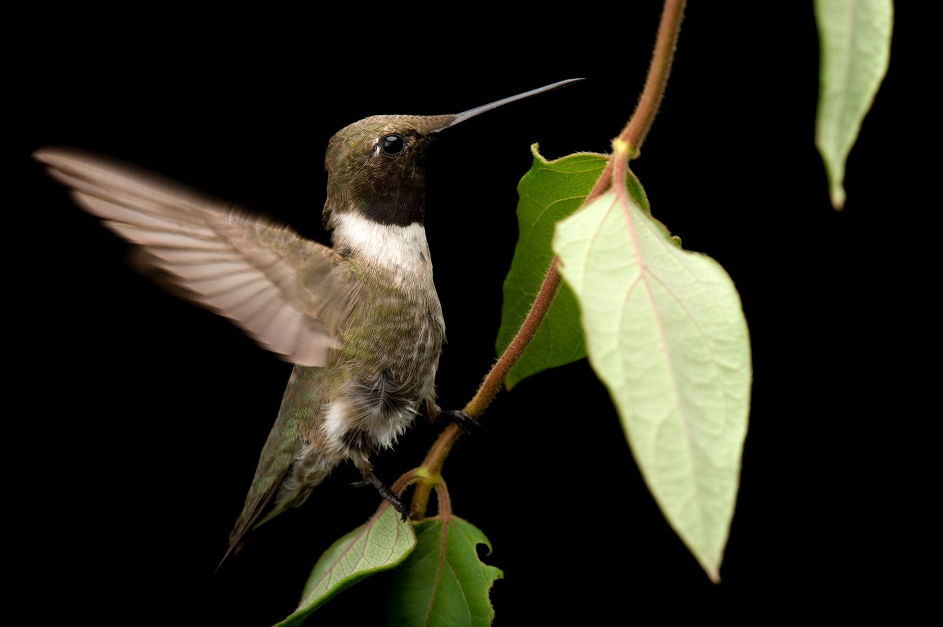 A black-chinned hummingbird (Archilochus alexandri) at the Brown Ranch, Texas.