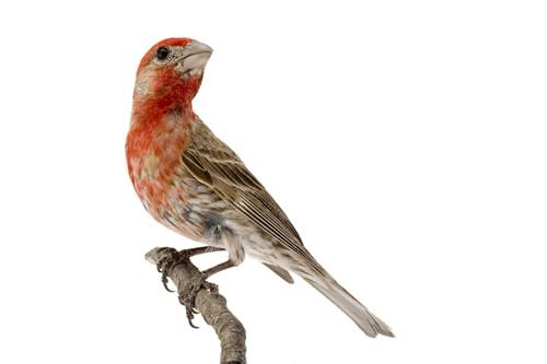 A male house finch (Carpodacus mexicanus) at the Brown Ranch, Texas.