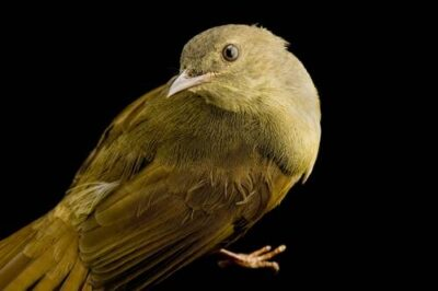 A little greenbul (Andropadus virens).
