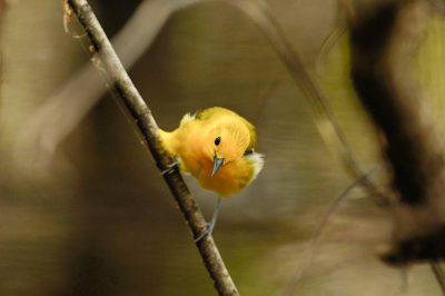Picture of a prothonotary warbler (Protonotaria citrea) at Bayou De View in the Cache River National Wildlife Refuge, Arkansas.