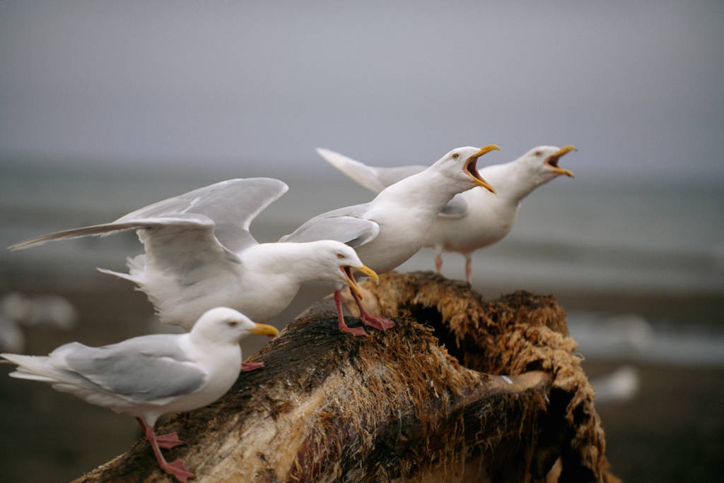 Photo: Gulls vocalize on Alaska's North Slope.