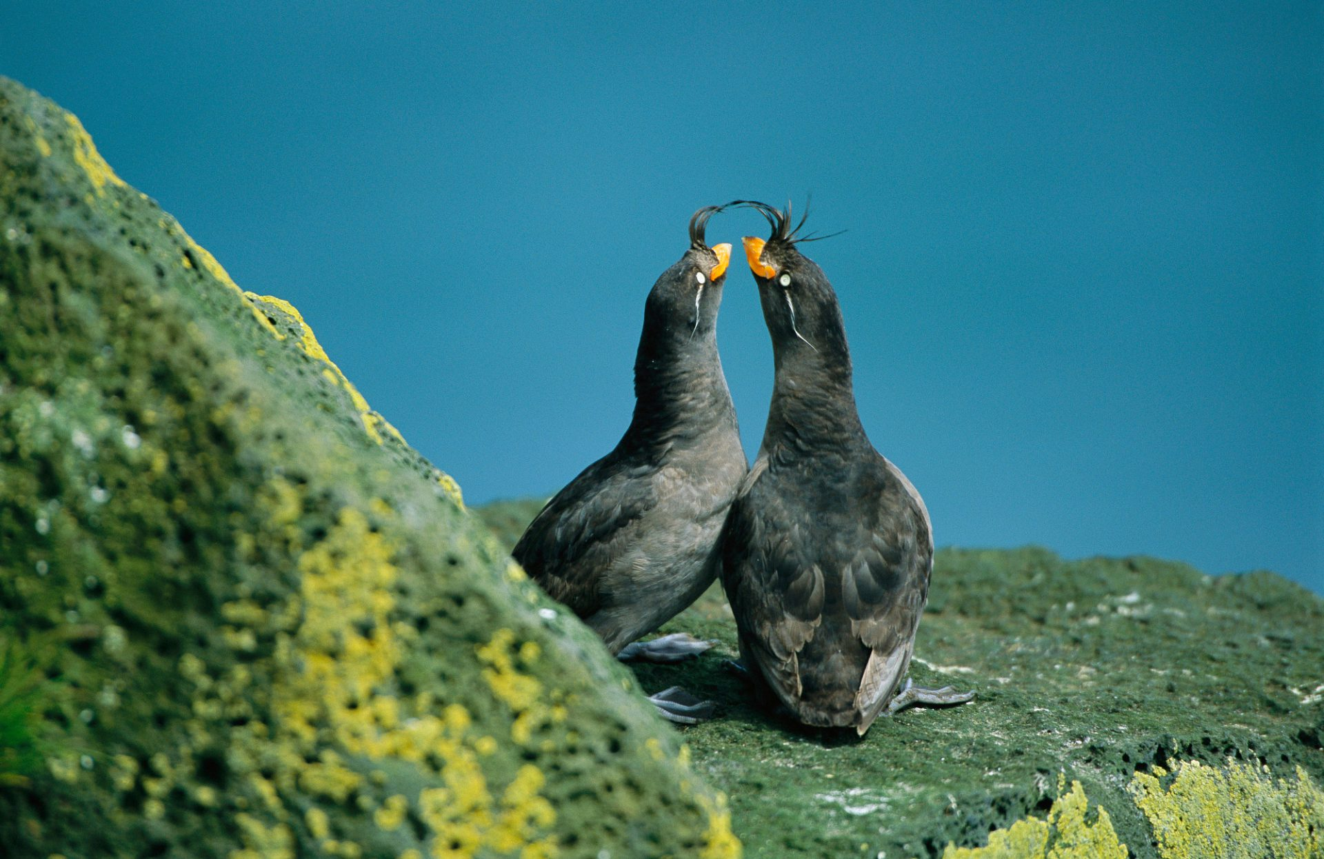 A pair of crested auklets (Aethia cristatella) in their breeding plumage.