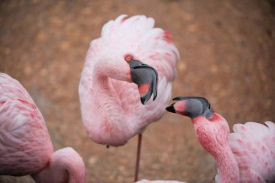 Photo: Lesser flamingos (Phoeniconaias minor) at the San Antonio Zoo, San Antonio, Texas.