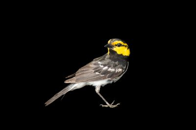 Photo: A golden-cheeked warbler (Dendroica chrysoparia) at Fort Hood, Texas.