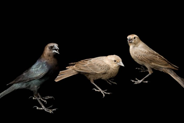 Male and female brown-headed cowbirds (Molothrus ater).